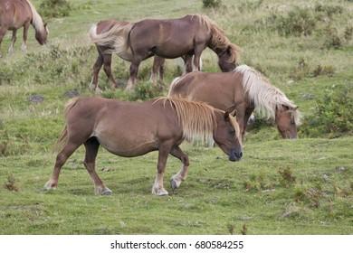 Pottoka horses eating grass in pastureland (Jaizkibel, Guipuzcoa, Spain).
