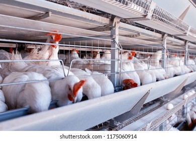 Poultry farm for breeding chickens, chicken eggs go through the transporter, chickens and eggs, industry