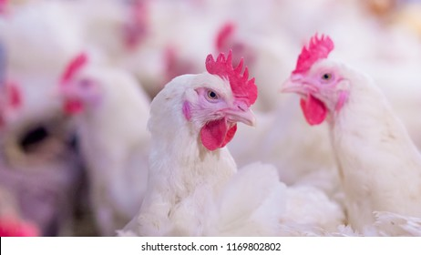 Poultry farm with broiler breeder chicken. Husbandry, housing business for the purpose of farming meat, White chicken Farm feed in indoor housing. Live chicken for meat, egg production inside storage