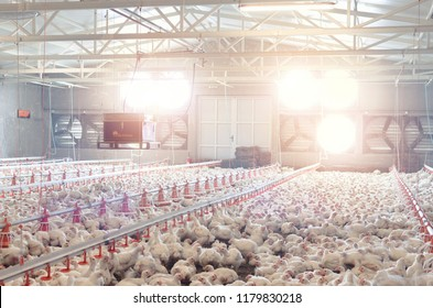 Poultry farm with chicken. Husbandry, housing business for the purpose of farming meat, White chicken Farming feed in indoor housing.