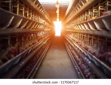 Poultry farm, chickens sit in open-air cages and eat mixed feed, on conveyor belts lie hen's eggs, farming, poultry house