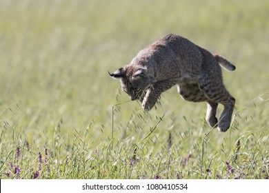 Pounce! A bobcat makes a dive in the grass to catch her next meal.