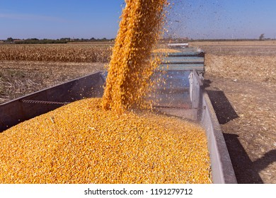 Pouring Corn Grain Into Tractor Trailer. Corn Falling from Combine Harvester Auger into Grain Cart. Maize Harvest .