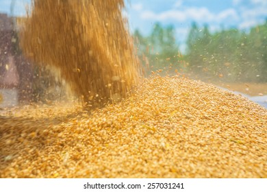 pouring corns of wheat in harvesting instagram stile close up