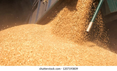 Pouring grain close up. Pile of wheat, tracktor trail.