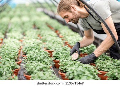 Pouring mineral fertilizers into the plants growing in the greenhouse at the plant production