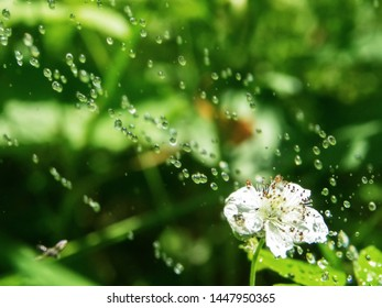 Pouring rain (heavy fall of rain) over flowering Mammoth blackberry (Rubus armeniacus), Caucasus bramble, wild berry