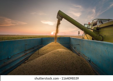 Pouring soy bean grain into tractor trailer