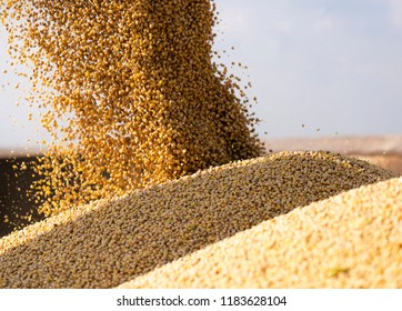 Pouring soy bean grain into tractor trailer after harvest