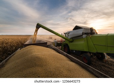 Pouring soy bean grain into tractor trailer after harvest at field