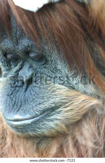 pouting orangatan
