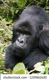 A pouting silverback gorilla at Volcanoes National Park, Rwanda