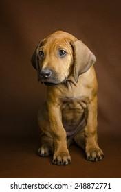 Pouty Rhodesian Ridgeback puppy