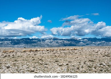 POVLJANA, PAG ISLAND, CROATIA - 29.09.2020. Sheep farming on the island of Pag is the most important economic sector. The landscape of Pag is typical karst. The Velebit mountain in distance