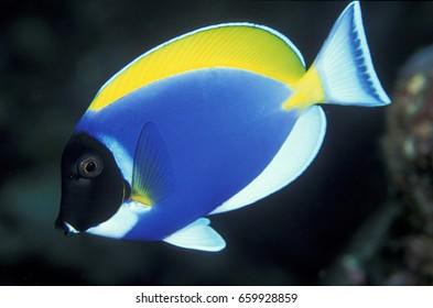 Powder blue surgeonfish , Acanthurus leucosternon , Similan Islands Thailand