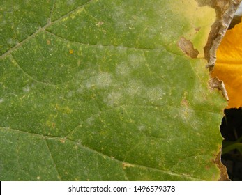 Powdery mildew of cucurbits (Latin name: Erysiphe cichoracearum) - signs of white rot on pumpkin leaves. Vegetable leaf pests, fungus and diseases in the garden.