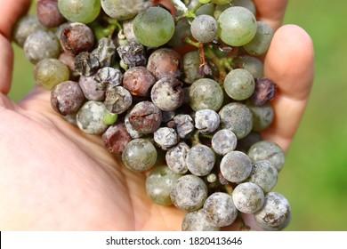 Powdery mildew disease in the bunch of grapes.