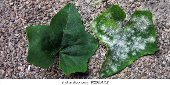 powdery mildew disease of ivy gourd caused by the fungus,the typical diseased  symptoms are white spots and discoloration on the leaf surface ,closeup as background