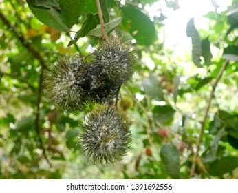 Powdery mildew Disease Rambutan in the garden