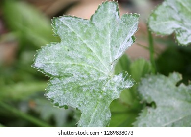 Powdery mildew Ecaused by Podosphaera aphanis on green leaf of Common Lady's Mantle or Alchemilla vulgaris