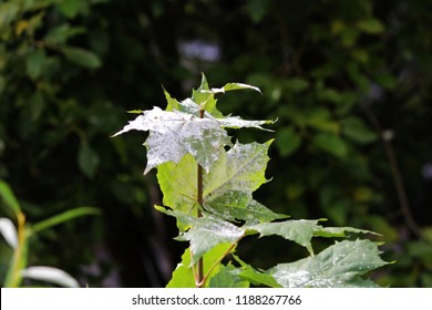 powdery mildew in the form of white spots cover the leaves of young maple. fungal disease of plants. Powdery mildew on Maple. Maple tree fungal disease Erysiphe.