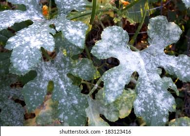 Powdery mildew, a garden fungus disease, on squash leaves