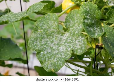 powdery mildew on cucurbits