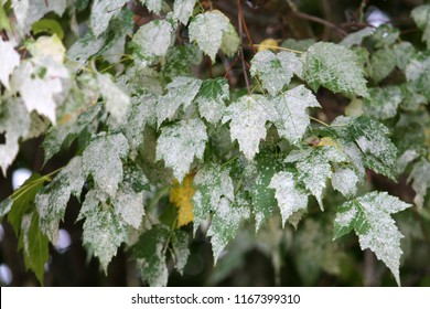 Powdery mildew on foliage of Acer tataricum or Tatarian maple