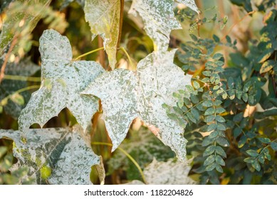 Powdery mildew on foliage of Acer tataricum or Tatarian maple.