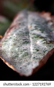 Powdery mildew on leaf of apple tree