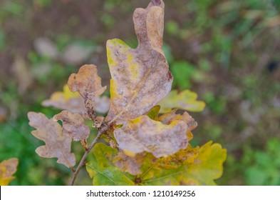 Powdery mildew on oak leaves