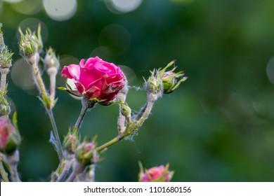 powdery mildew on roses shoot, macro close-up