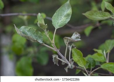 powdery mildew on tree leaves