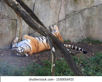 Powell, Ohio, USA - October 13, 2019: Tired Bengal tiger taking a cat nap asleep on its back at the Columbus Zoo