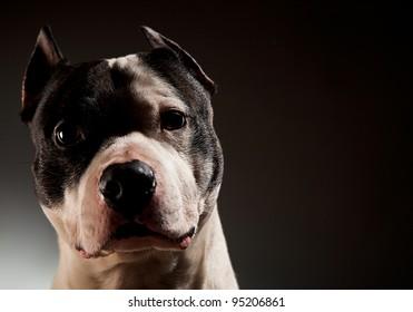 power inspiring pit bull in studio on a black background