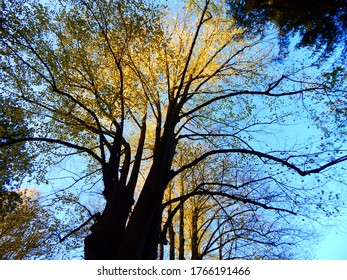 Kraft der Natur mit goldenen, hohen Baumgipfeln in der Sonne unter blauem Himmel