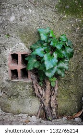 The power of nature. A plant that beat concrete. Ivy, a woody evergreen Eurasian climbing plant.
