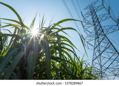 Power transmission tower and sugarcane field farm with blue sky in sunny day and sun flare background. Sugar cane plant tree in farm for food industry or renewable modern bioenergy, biomass power.