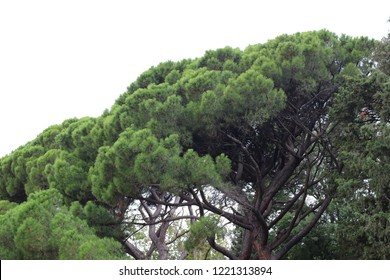 Powerful and beautiful branchy pines in the park of the Vorontsov Palace in Crimea