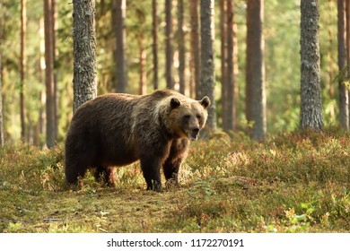 Powerful brown bear in a forest scenery. Bear in forest.
