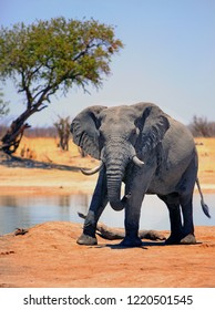 Powerful Bull Elphant on the dry arid African Plains in Hwange National Park, Zimbabwe