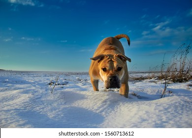 Powerful dog Ca de Bo in a snowy field on a walk on a sunny winter day