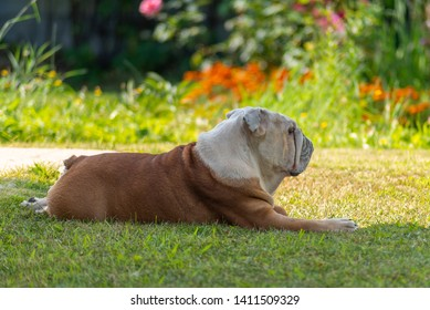 A powerful elderly male English Bulldog with a deadpan look will come from the bright sun in the shade. Behind a brightly lit blurred background with blooming plants.
