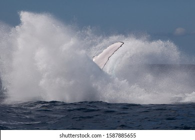 A powerful Humpback whale, Megaptera novaeangliae, crashes back into the sea after breaching. The Atlantic population of Humpback whales is still considered an endangered species.