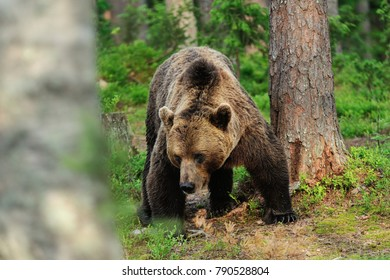 Powerful male brown bear. Powerful pose of brown bear. European brown bear.