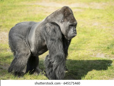 Powerful male Gorilla in full walking on all fours