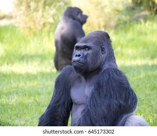 Powerful male Gorilla portrait