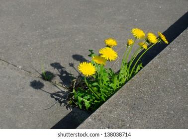 powerful nature dandelions