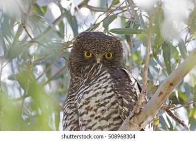 Powerful Owl (Ninox strenua) Newstead, Victoria, Australia