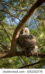 Powerful Owl perched in a tree in the Australian bush